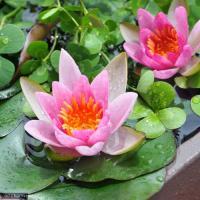 水辺の薔薇 睡蓮!メダカ・金魚に!温帯性スイレンの中でも小型の種類で、比較的小さな鉢でも育成可能です...