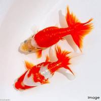 古くから島根県出雲地方で飼育されてきた金魚で、土佐錦魚、地金とともに三大地金のうちの一つに数えられて...