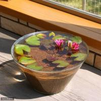 姫睡蓮(姫スイレン)  透き通るガラス鉢と赤く輝く姫睡蓮(姫スイレン)のセットです。光と水そして生き...