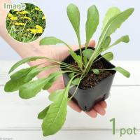 (観葉植物)ペットリーフ タンポポ 3号(無農薬)(1ポット) たんぽぽの苗 うさぎ 鳥 リクガメ おやつ