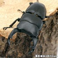 CBF1お届けするのは幼虫となります。オスメスの指定はできません。滋賀県の個体は独特な形状を持つとい...