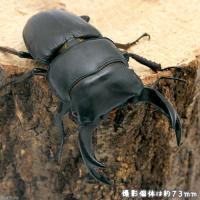 CBF1お届けするのは幼虫となります。オスメスの指定はできません。愛知県では木曽川東側が有名な産地で...