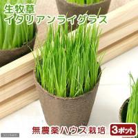 (観葉植物)イタリアンライグラス うさぎの草 直径8cmECOポット植え(無農薬)(3ポットセット) 生牧草 うさぎのおやつ 北海道冬季発送不可