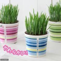 (観葉植物)ペットグラス 燕麦 うさぎの草 直径8cmECOポット植え(無農薬)(鉢カバー付き・ブルー)(1セット) おやつ