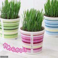 (観葉植物)ペットグラス 燕麦 うさぎの草 直径8cmECOポット植え(無農薬)(鉢カバー付き・ピンク)(1セット) おやつ