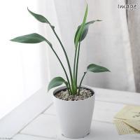 (観葉植物)ストレリチア ユンケア(ノンリーフ) 4号(1鉢) 北海道冬季発送不可