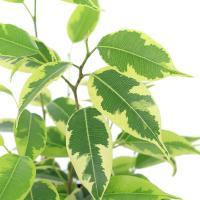 (観葉植物)フィカス ベンジャミン ラブリー 4号(1鉢) 北海道冬季発送不可