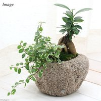 (観葉植物)苔盆栽 ガジュマル&プミラ 抗火石鉢植え Mサイズ(1鉢) 北海道冬季発送不可
