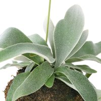 (観葉植物)苔玉 コウモリラン ビフルカツム 吊りタイプ Lサイズ (1個) 北海道冬季発送不可