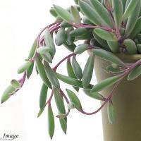 (観葉植物)ルビーネックレス 2.5~3号(1鉢)