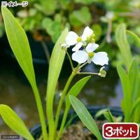 (ビオトープ)水辺植物 ナガバオモダカ(グラミネア)(3ポット) 抽水植物