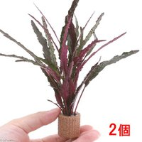 葉裏のコントラストが魅力的な植物です!テラリウム向きです! ライフマルチ ヘミグラフィス レパンダ(...