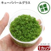 (水草)組織培養 キューバパールグラス(無農薬)(1カップ)