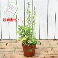 水辺植物の寄せ植えです。 インスタント・ビオトープ(寄せ植え) 発送サイズ 硬質プラポット5号(15...