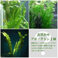 熱帯魚 _aqua new_tonan 水草 お買い得セット ミックス 20150126 KIX w...