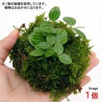 (盆栽)溶岩石苔玉 Ver.ミニ観葉(1個) 観葉植物 コケ玉 (休眠株)