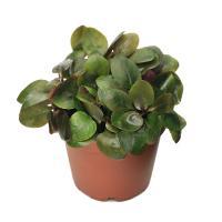 (水草)ロベリアカーディナリス 鉢植え(無農薬)(水上葉)(1ポット分)