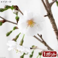 (盆栽)サクラ(桜) 富士桜 3号 樹高10~20cm前後(1ポット分) (休眠株)