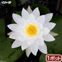 (ビオトープ)睡蓮 温帯性睡蓮(スイレン)(白)プラパント・ホワイト Prapunt White(1ポット)