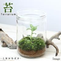 (観葉植物)苔Terrarium ミヤマウズラ ガラスボトルL 説明書付 テラリウムキット ジュエルオーキッド 本州・四国限定