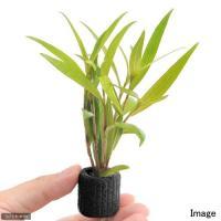 (水草)マルチリングブラック(黒) ポリゴナムsp.レッド(水上葉)(無農薬)(1個)