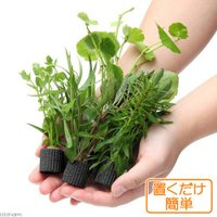 (水草)置くだけ簡単 マルチリングブラック(黒) おまかせ有茎草5種(水上葉)(無農薬)(計5個) 北海道航空便要保温
