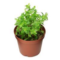 (水草)ブラジリアンフラジャイル(水上葉) 鉢植え(無農薬)(1鉢)