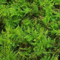(観葉植物/苔)シノブゴケ 1パック分