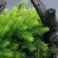 (観葉植物)苔 ヒノキゴケ 1パック分