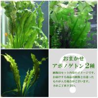 熱帯魚 new_tonan 水草 お買い得セット ミックス Aponogeton0419 all_p...
