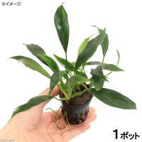 サトイモ科(Araceae)の植物。英名Aglaonema sp.。細葉で深緑色のアグラオネマです。...