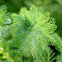 (水草)ミリオフィラムsp.オレンジ ローライマ産(水上葉)(無農薬)(4本)