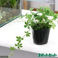 (観葉植物)パーセノシッサス シュガーバイン 3号(3ポット) 北海道冬季発送不可
