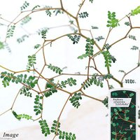 ジグザクの枝とキュートな葉が魅力! 「メルヘンの木」の愛称で近年人気が高まっているマメ科の植物です。...