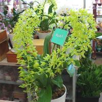 商品について  夏場の贈り物として定着した「夏の恋人 グラマトフィラム」 その清涼感のある花は、暑い...