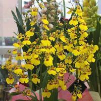 オンシジューム鉢植え   品種:「アロハイワナガ」ラン科デンドロビウム属   花 言 葉 : 気立て...