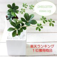 可愛い葉っぱが当店でも大人気のシサスアイビーシュガーバイン♪♪(人工観葉植物) 清潔感のある真っ白な...