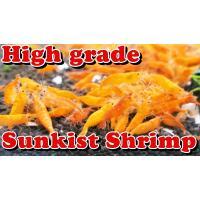 ハイグレードチェリーシュリンプ サンキストシュリンプ 10匹セット(補償分2匹+)エビオドリ