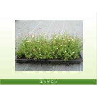 ガーデニングに便利なお花が咲くカバープランツです。  エリゲロンは耐寒性・耐暑性があり、管理が簡単で...