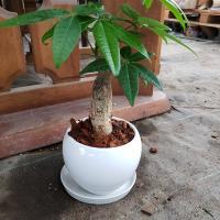 送料無料!開運 パキラ 破格の値段!自家栽培 観葉植物