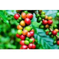 コーヒー豆 エクーア シベットコーヒー (ジャコウネココーヒー、コピルアク) 豆 100g eei7 04