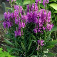 夏から秋にかけて花壇で色鮮やかな花を咲かせるカクトラノオ。北アメリカ原産の、暑さ寒さに強い多年草です...
