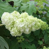 庭植え・鉢植えに人気の柏葉アジサイ。ハーモニーは、小さな手まり状の花がアイスクリームパフェのように段...
