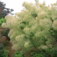 花木 庭木の苗/スモークツリー:グリーンボール4号ポット