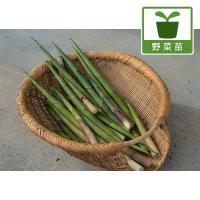 地表の近くで根元が曲がっていることから「根曲竹」と呼ばれ、たけのこの仲間の中では最もおいしく、栄養価...
