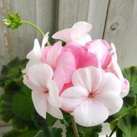 ホワイトトゥローズは2012年ヨーロッパ草花審査会 金賞受賞品種です。咲き始めは白色の花が、咲き進む...