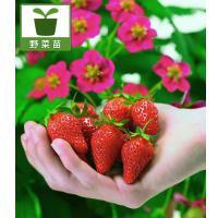 「トスカーナ」はヨーロッパで賞を受賞した期待の新品種。多収穫の四季なりイチゴです。観賞用の植物にも楽...