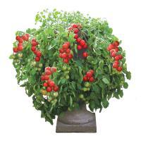 ハンギングトマトの王様!支柱いらず、コンパクトなスペースでOK!プランターやコンテナで多収穫のミニト...