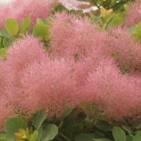 風に揺れる「ほわっ」とした花はまるでカラフルな綿菓子飴。秋には紅葉も楽しめます。庭植えの場合、樹高は...