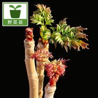 山菜の王者、タラノキ。七島タラの木は伊豆七島に自生する品種。隠れた山菜の逸品です。トゲ無しで格別のお...